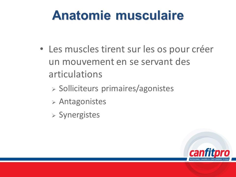 Anatomie musculaire Les muscles tirent sur les os pour créer un mouvement en se servant des articulations Solliciteurs primaires/agonistes Antagoniste