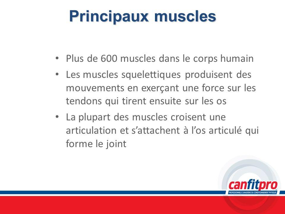 Principaux muscles Plus de 600 muscles dans le corps humain Les muscles squelettiques produisent des mouvements en exerçant une force sur les tendons