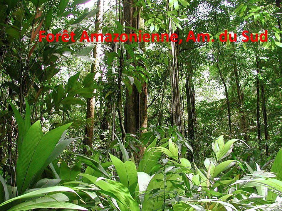 Forêt Amazonienne, Am. du Sud