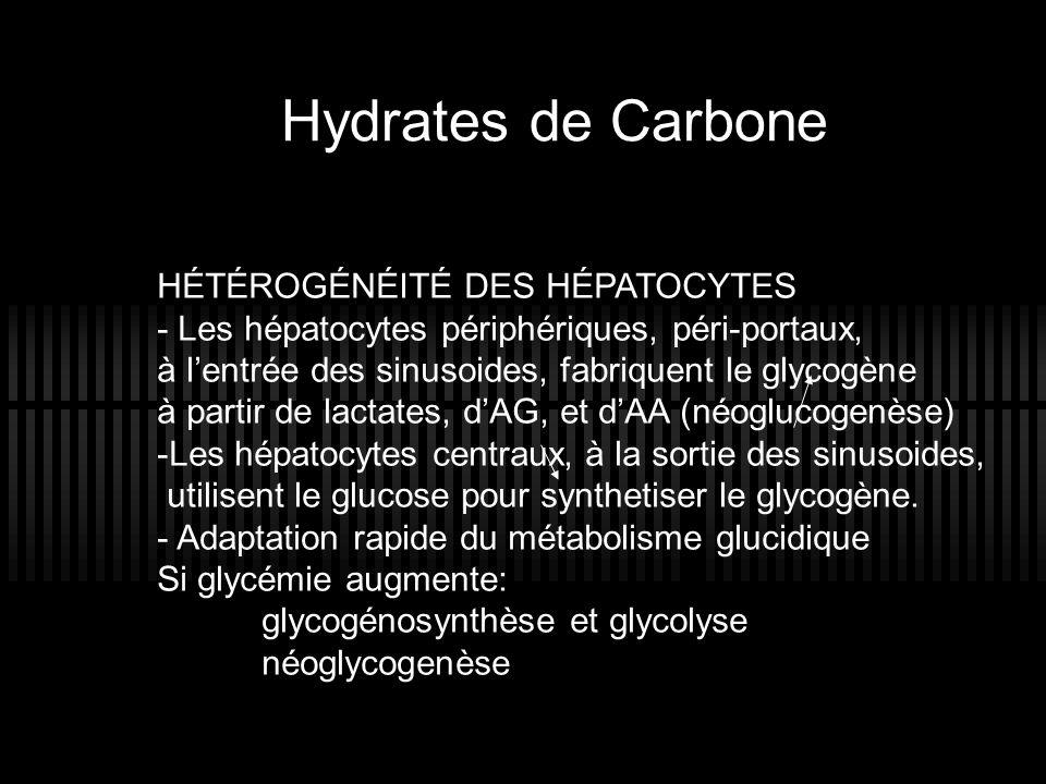 HÉTÉROGÉNÉITÉ DES HÉPATOCYTES - Les hépatocytes périphériques, péri-portaux, à lentrée des sinusoides, fabriquent le glycogène à partir de lactates, d