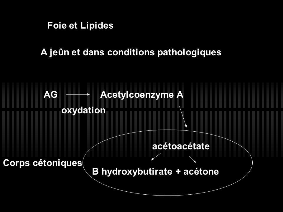 Foie et Lipides A jeûn et dans conditions pathologiques AGAcetylcoenzyme A oxydation acétoacétate B hydroxybutirate + acétone Corps cétoniques