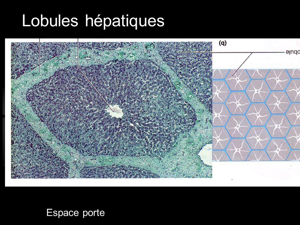 Lobules hépatiques Espace porte