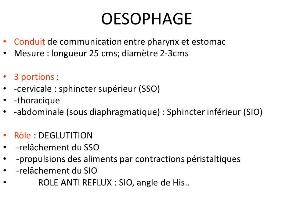 OESOPHAGE Conduit de communication entre pharynx et estomac Mesure : longueur 25 cms; diamètre 2-3cms 3 portions : -cervicale : sphincter supérieur (S