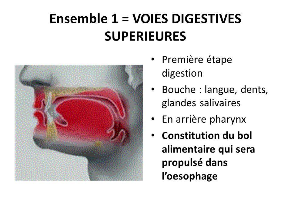 Ensemble 1 = VOIES DIGESTIVES SUPERIEURES Première étape digestion Bouche : langue, dents, glandes salivaires En arrière pharynx Constitution du bol a