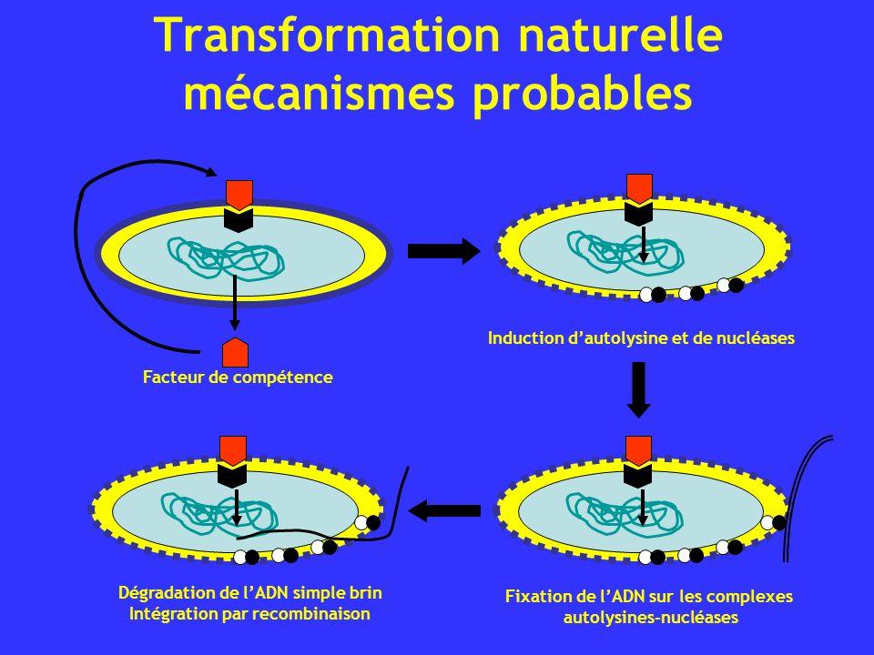 Transformation naturelle mécanismes probables Facteur de compétence Induction dautolysine et de nucléases Fixation de lADN sur les complexes autolysin