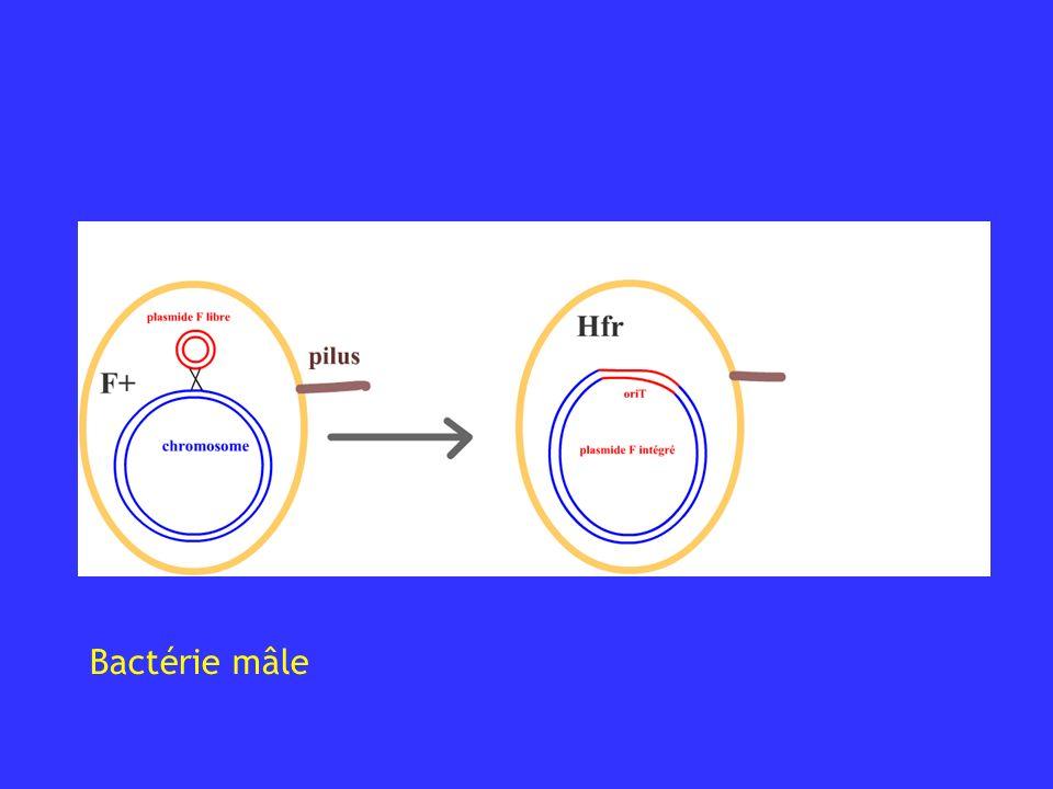 Bactérie mâle