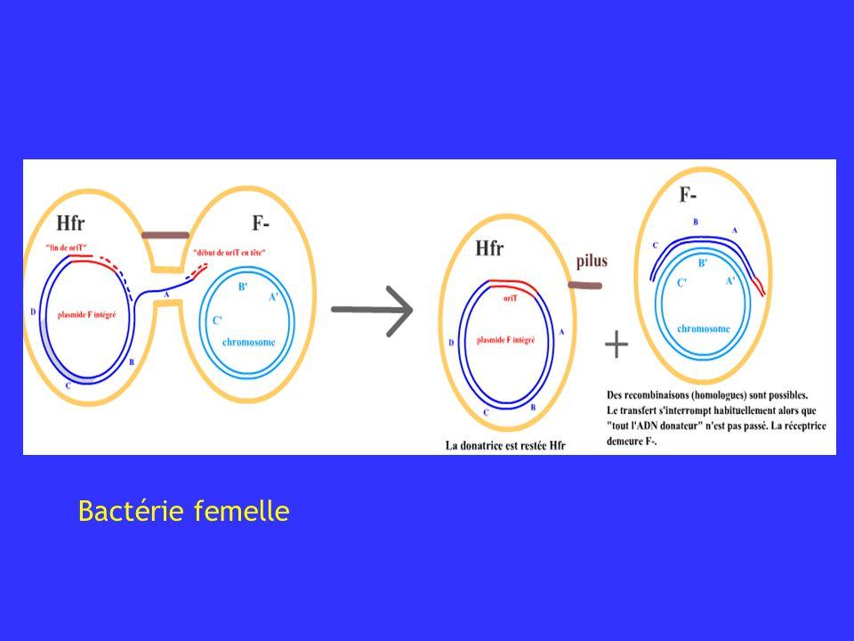 Bactérie femelle