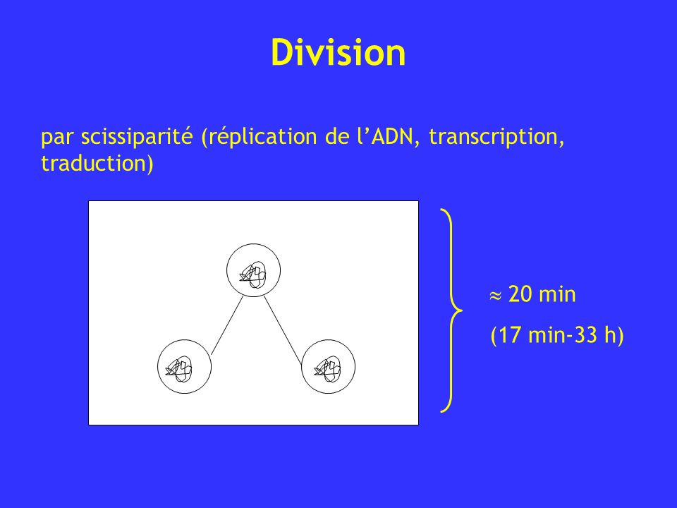 Division par scissiparité (réplication de lADN, transcription, traduction) 20 min (17 min-33 h)