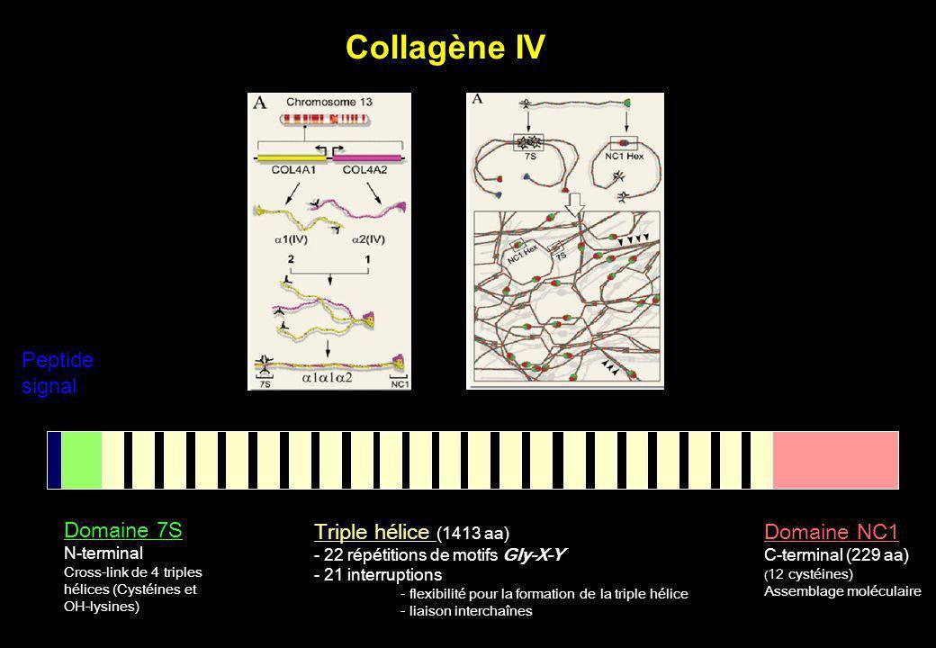 Peptide signal Domaine 7S N-terminal Cross-link de 4 triples hélices (Cystéines et OH-lysines) Triple hélice (1413 aa) - 22 répétitions de motifs Gly-