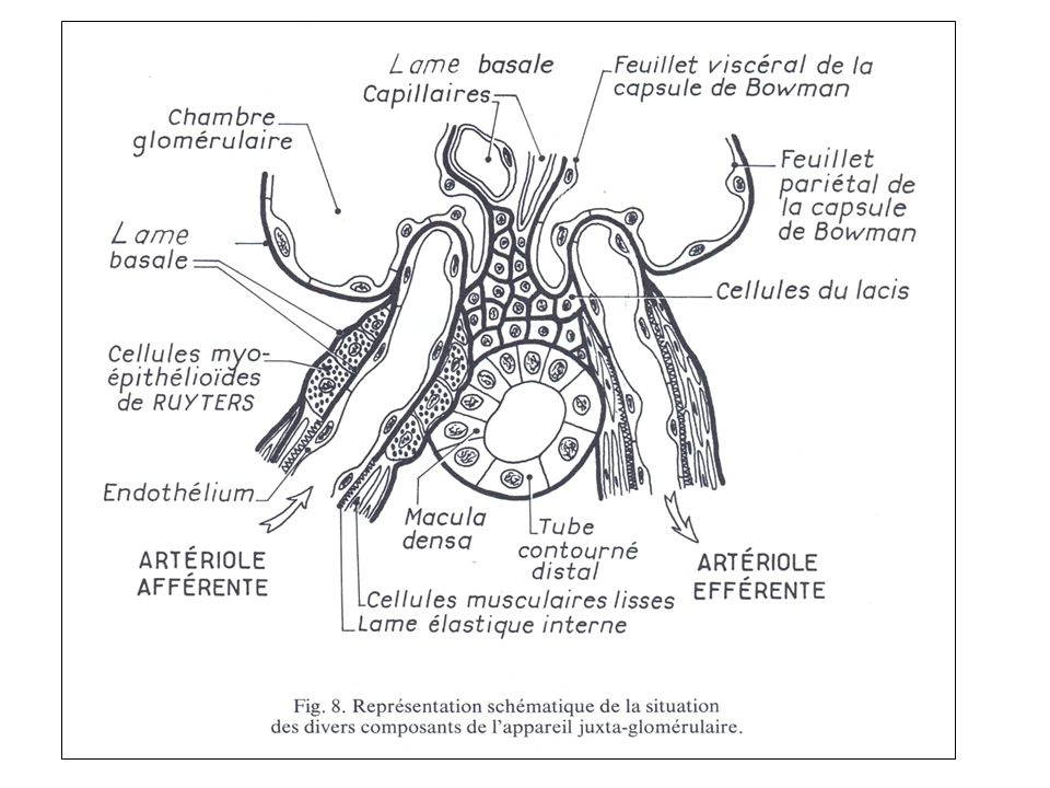 Flocculus: structure Structure des capillaires –Paroi = Membrane Basale (MB) tapissée de part et dautre Face interne (sanguine): cellules endothéliales Face externe (urinaire): podocytes (cellules épithéliales viscérales) Face interne de la capsule de Bowman avec les cellules pariétales en continuité avec les cellules du TCP –Structure centrale Mésangium = axe intercapillaire Matériel matriciel et cellules mésangiales –La paroi capillaire passe en pont sur le tissu mésangial sans interposition dendothélium et les cellules endothéliales sont en contact avec le mésangium sans interpositions de la paroi capillaire : échanges faciles