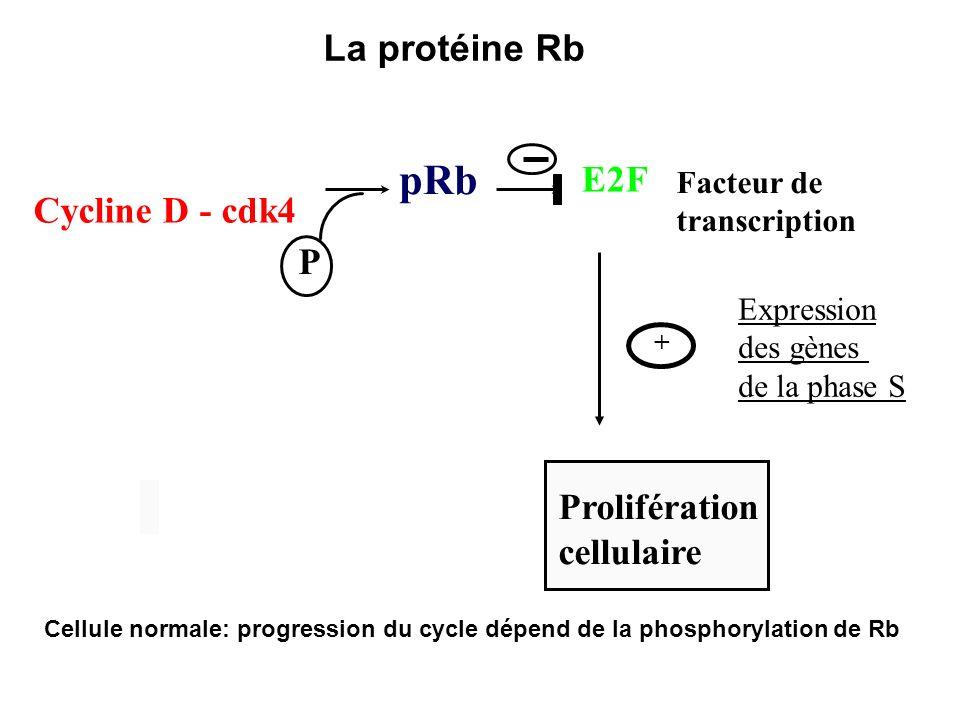pRb P + Prolifération cellulaire Facteur de transcription Cycline D - cdk4 Expression des gènes de la phase S E2F Cellule normale: progression du cycl