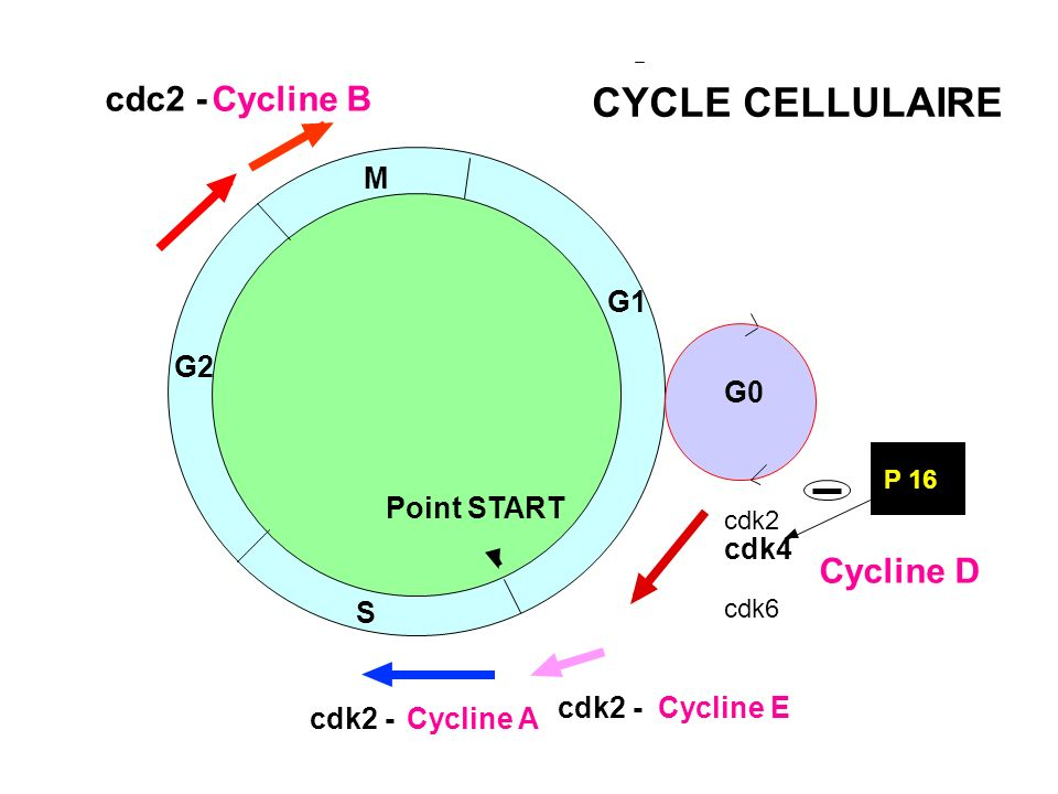 G1 M S G2 G0 cdk2 cdk4 cdk5 cdk6 Cycline D cdk2 - Cycline E cdk2 -Cycline A cdc2 - Cycline B Point START P 16 CYCLE CELLULAIRE