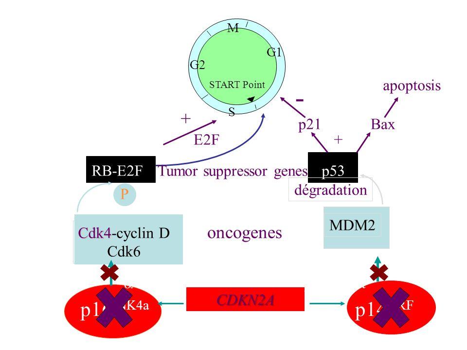 RB-E2F G1 M S G2 START Point p53 E2F oncogenes Tumor suppressor genes MDM2 dégradation Cdk4 Cdk4-cyclin D Cdk6 P - + - p16 INK4a p14 ARF CDKN2A transc