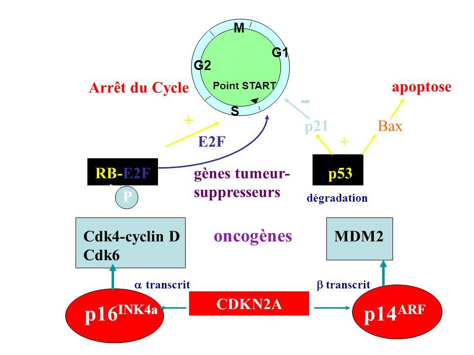 RB-E2F G1 M S G2 Point START p53 E2F oncogènes gènes tumeur- suppresseurs MDM2 dégradation Cdk4-cyclin D Cdk6 P - - + - p16 INK4a p14 ARF CDKN2A trans