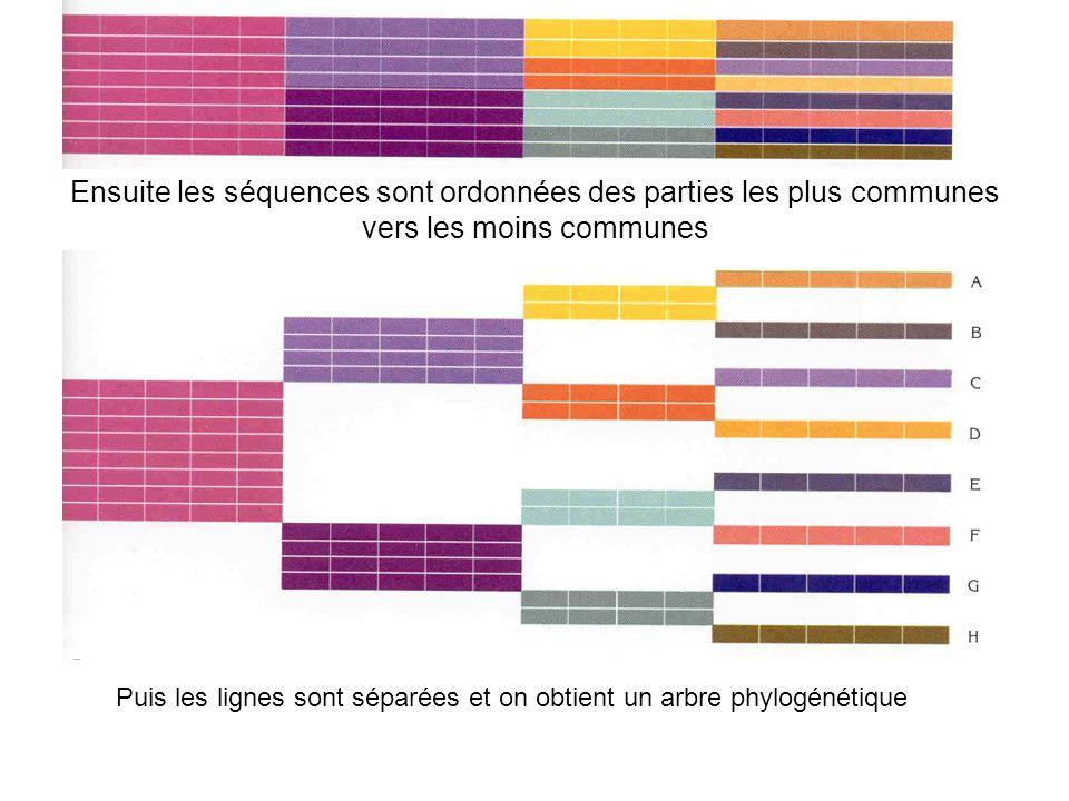 Ensuite les séquences sont ordonnées des parties les plus communes vers les moins communes Puis les lignes sont séparées et on obtient un arbre phylog