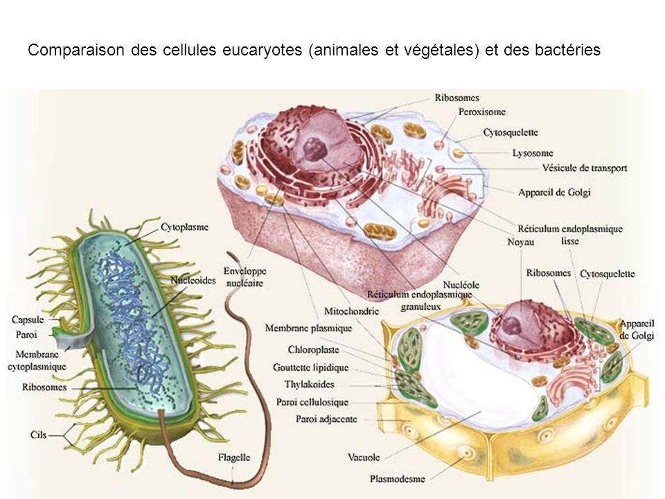Comparaison des cellules eucaryotes (animales et végétales) et des bactéries