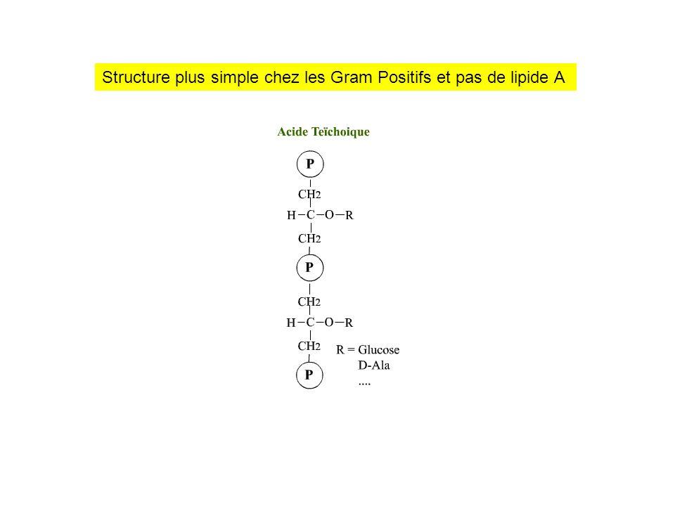 Structure plus simple chez les Gram Positifs et pas de lipide A