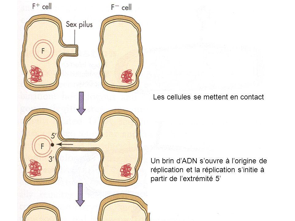 Les cellules se mettent en contact Un brin dADN souvre à lorigine de réplication et la réplication sinitie à partir de lextrémité 5