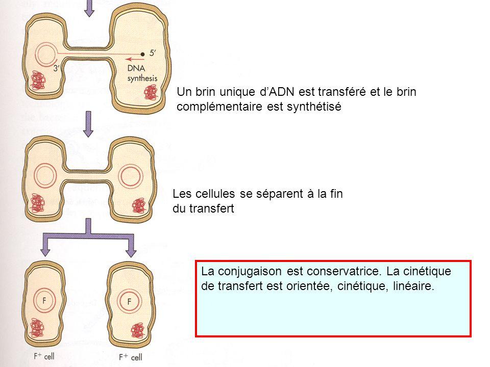 Un brin unique dADN est transféré et le brin complémentaire est synthétisé Les cellules se séparent à la fin du transfert La conjugaison est conservat