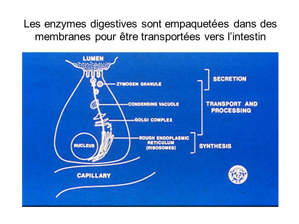 Les enzymes digestives sont empaquetées dans des membranes pour être transportées vers lintestin