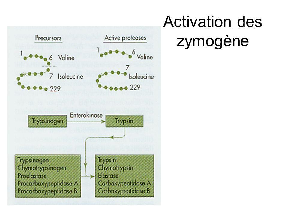 Activation des zymogène