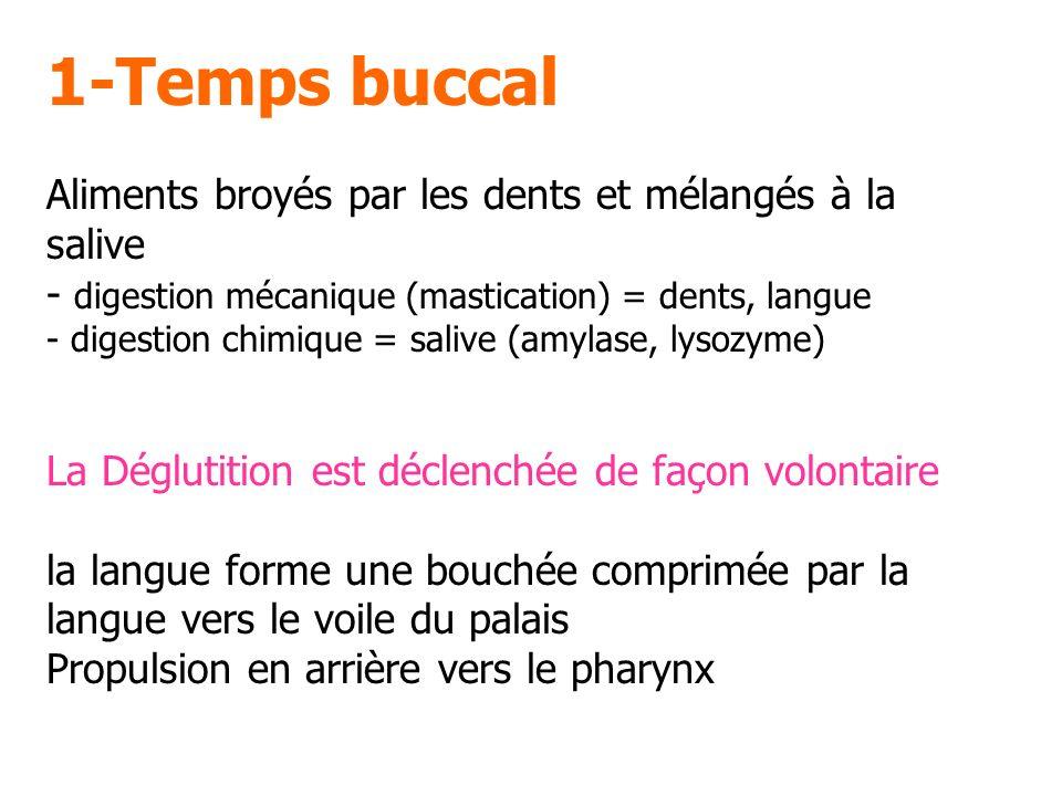 1-Temps buccal Aliments broyés par les dents et mélangés à la salive - digestion mécanique (mastication) = dents, langue - digestion chimique = salive