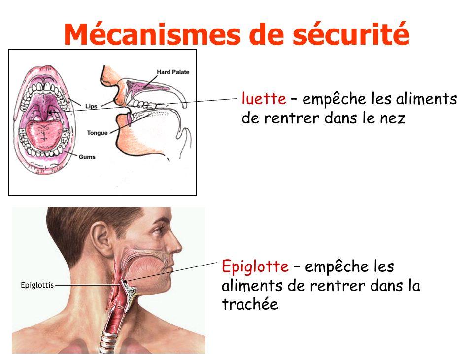 luette – empêche les aliments de rentrer dans le nez Epiglotte – empêche les aliments de rentrer dans la trachée Mécanismes de sécurité