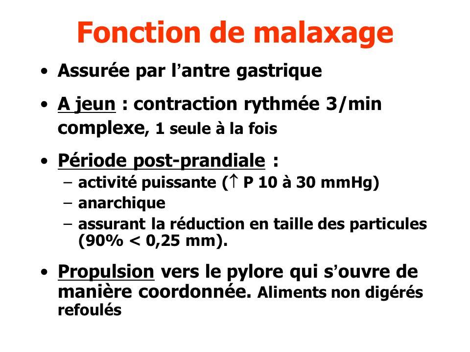 Fonction de malaxage Assurée par lantre gastrique A jeun : contraction rythmée 3/min complexe, 1 seule à la fois Période post-prandiale : –activité pu