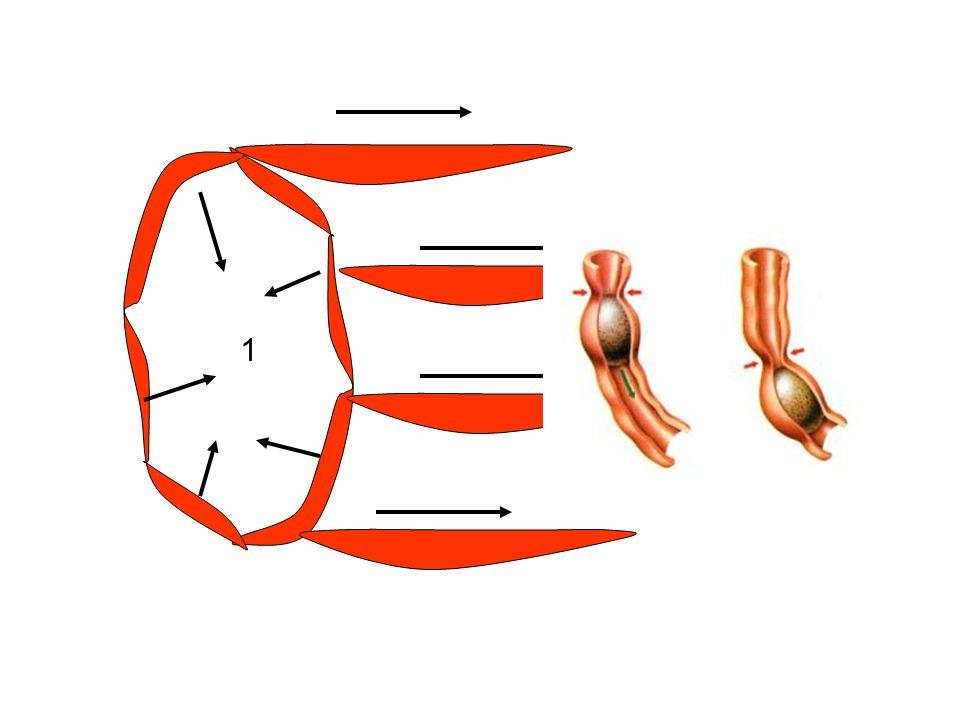 Les différents types de contractions musculaires PhasiqueTonique DuréeBrève qq secondes Prolongées voire continuelles PropagationOUINON SiègeLes organes creux Œsophage Grêle, colon Les sphincters SIO SAI