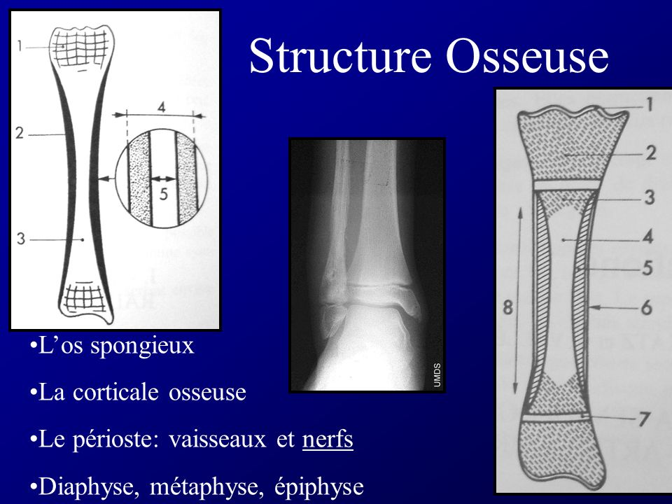 Los spongieux La corticale osseuse Le périoste: vaisseaux et nerfs Diaphyse, métaphyse, épiphyse Structure Osseuse