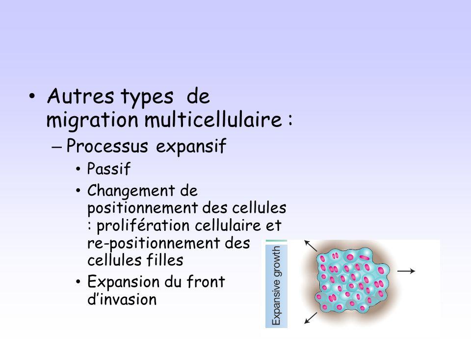Autres types de migration multicellulaire : – Processus expansif Passif Changement de positionnement des cellules : prolifération cellulaire et re-positionnement des cellules filles Expansion du front dinvasion