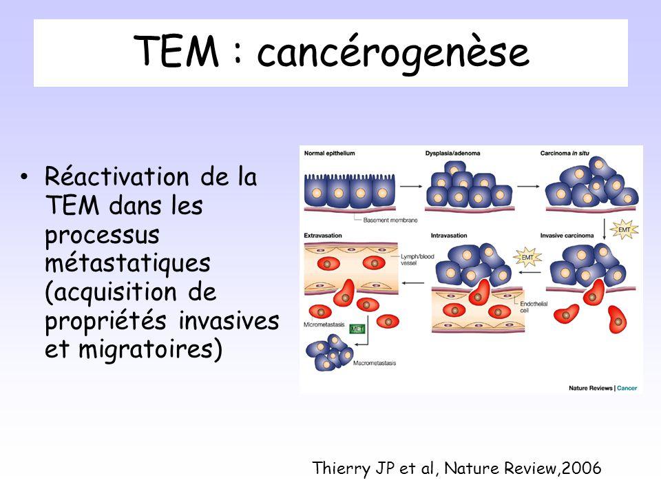 TEM : cancérogenèse Réactivation de la TEM dans les processus métastatiques (acquisition de propriétés invasives et migratoires) Thierry JP et al, Nature Review,2006