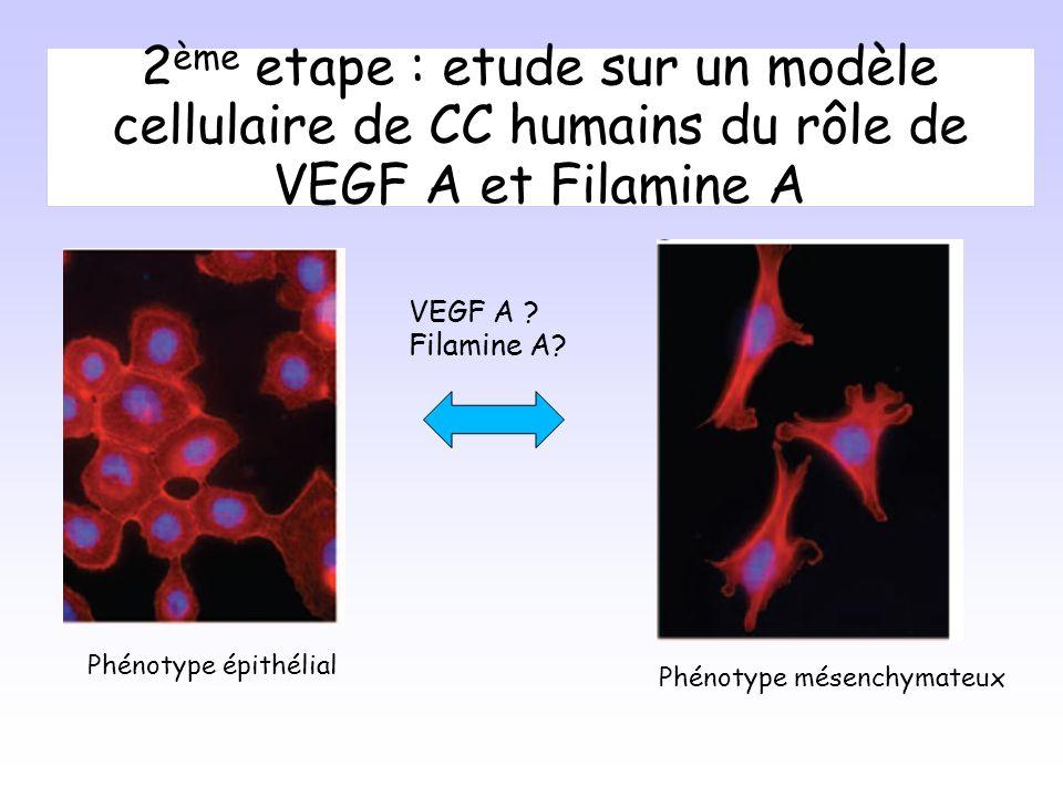 2 ème etape : etude sur un modèle cellulaire de CC humains du rôle de VEGF A et Filamine A VEGF A .