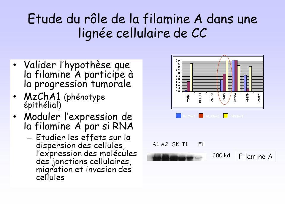 Etude du rôle de la filamine A dans une lignée cellulaire de CC Valider lhypothèse que la filamine A participe à la progression tumorale MzChA1 (phénotype épithélial) Moduler lexpression de la filamine A par si RNA – Etudier les effets sur la dispersion des cellules, lexpression des molécules des jonctions cellulaires, migration et invasion des cellules MzCha1 MzCha2SKCha1