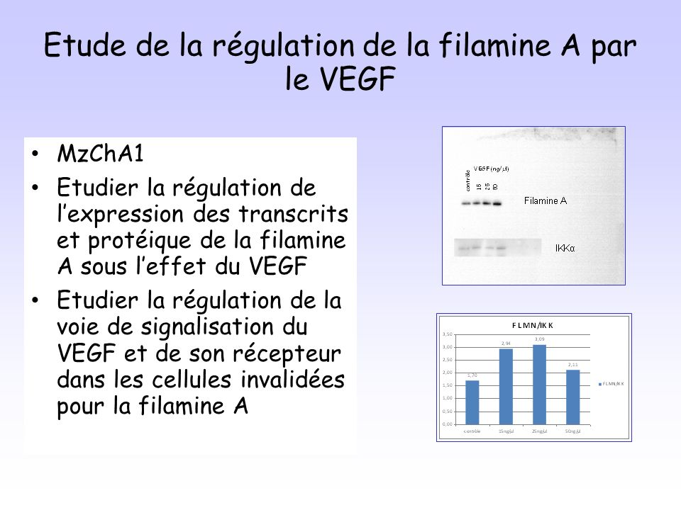Etude de la régulation de la filamine A par le VEGF MzChA1 Etudier la régulation de lexpression des transcrits et protéique de la filamine A sous leffet du VEGF Etudier la régulation de la voie de signalisation du VEGF et de son récepteur dans les cellules invalidées pour la filamine A