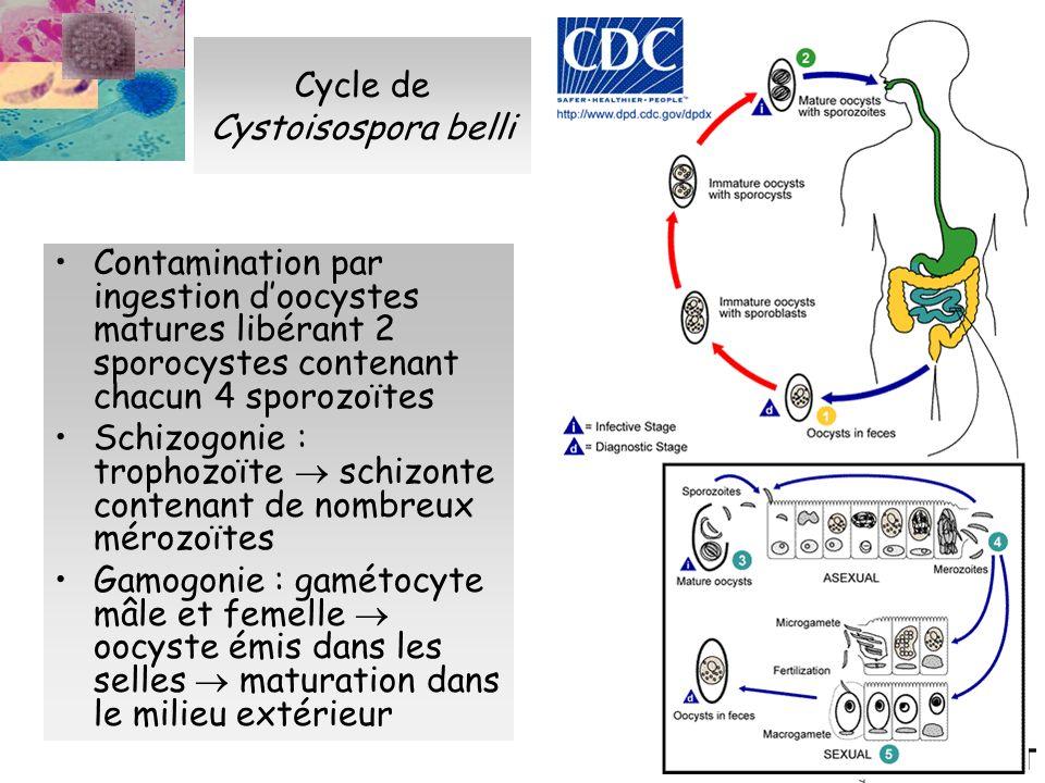 Cycle de Cystoisospora belli Contamination par ingestion doocystes matures libérant 2 sporocystes contenant chacun 4 sporozoïtes Schizogonie : trophoz