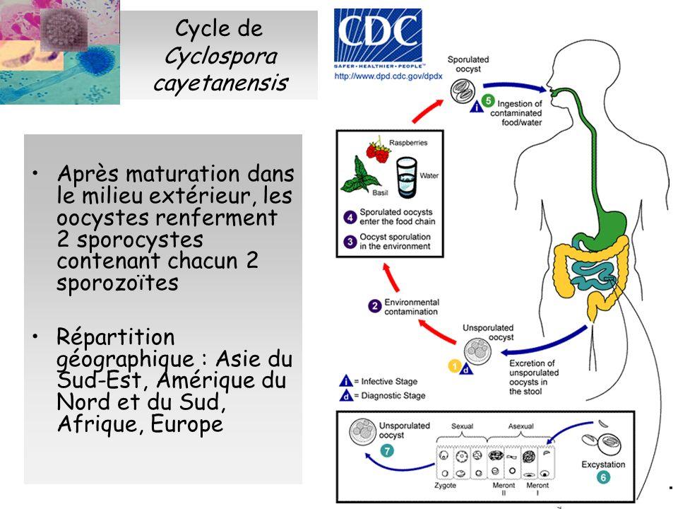 Cycle de Cyclospora cayetanensis Après maturation dans le milieu extérieur, les oocystes renferment 2 sporocystes contenant chacun 2 sporozoïtes Répar