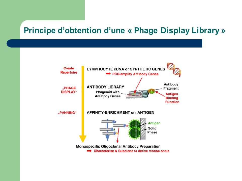 Principe dobtention dune « Phage Display Library »