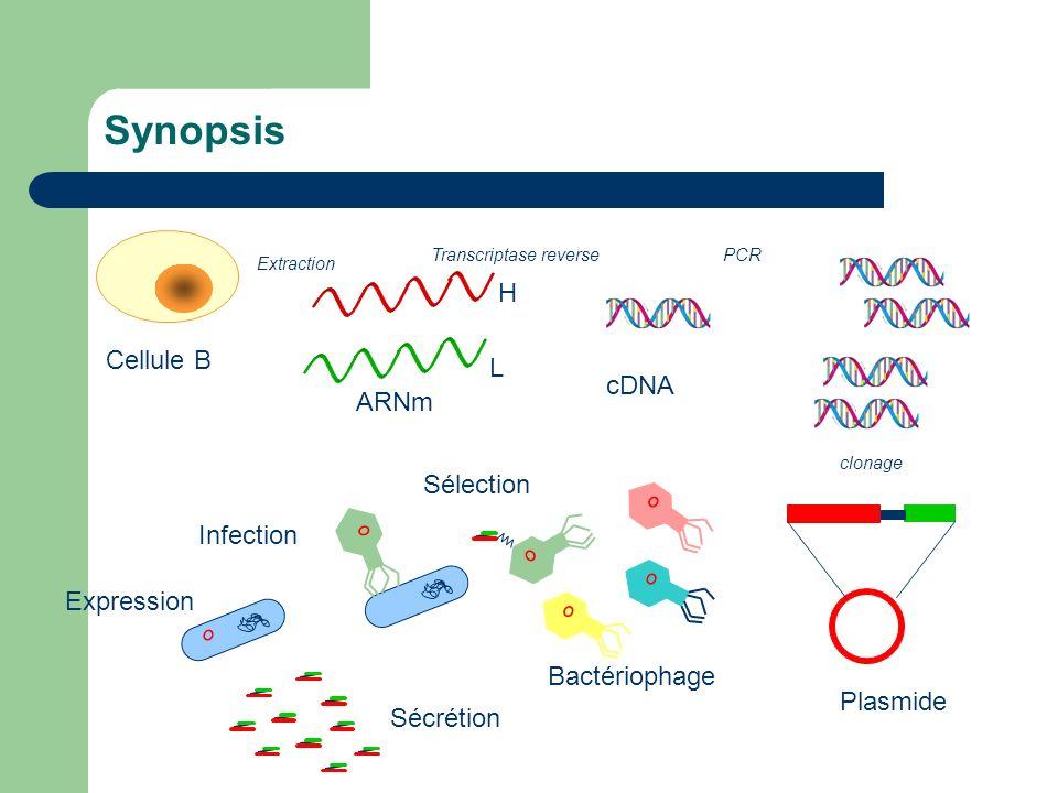 Synopsis Cellule B ARNm Transcriptase reverse cDNA PCR Plasmide clonage Bactériophage L H Sélection Infection Expression Sécrétion Extraction