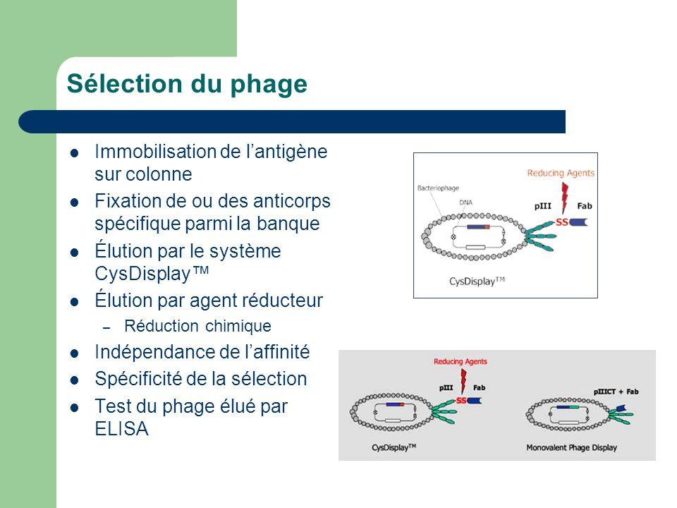 Sélection du phage Immobilisation de lantigène sur colonne Fixation de ou des anticorps spécifique parmi la banque Élution par le système CysDisplay É