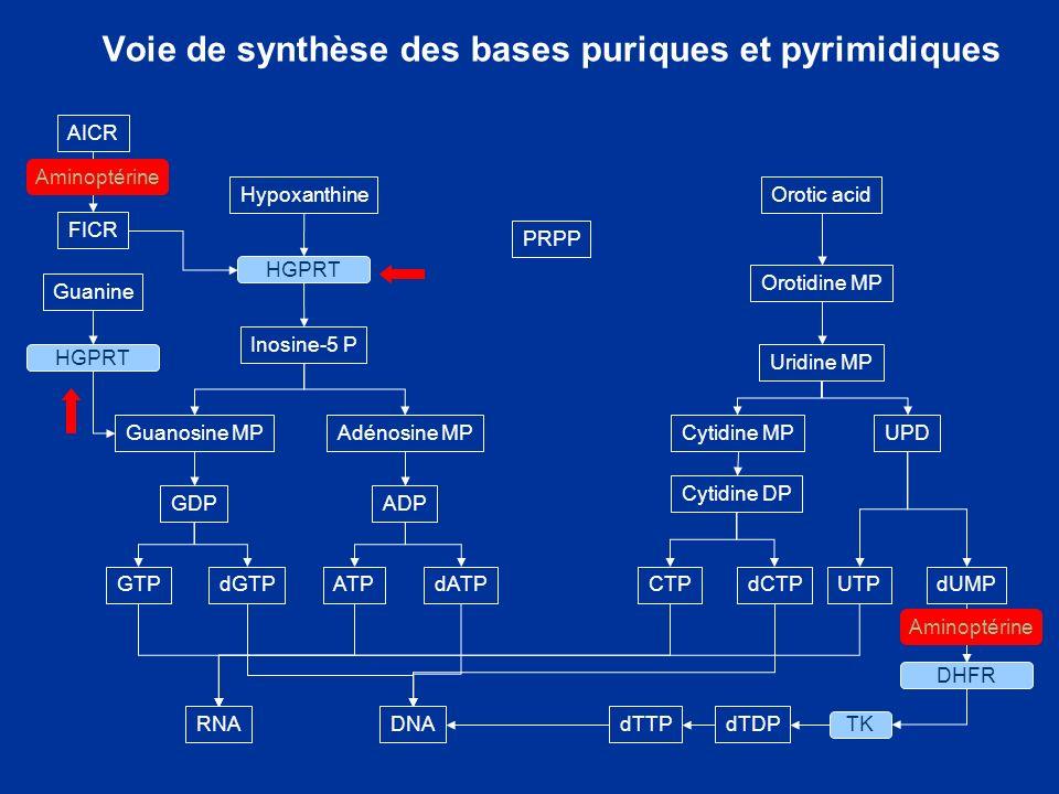 Voie de synthèse des bases puriques et pyrimidiques Hypoxanthine Orotic acid Orotidine MP Uridine MP Cytidine MP Cytidine DP UPD CTPdCTPUTPdUMP PRPP I