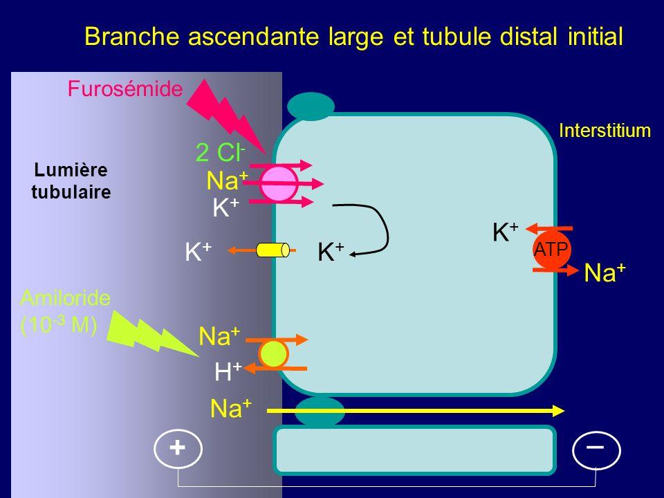 Branche ascendante large et tubule distal initial Lumière tubulaire Interstitium K+K+ Na + H+H+ ATP + 2 Cl - Na + K+K+ K+K+ K+K+ _ Furosémide Amiloride (10 -3 M)