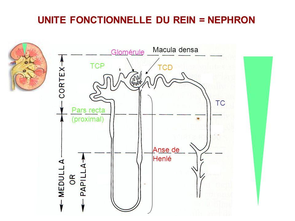 TCP Glomérule Macula densa Pars recta (proximal) Anse de Henlé TC TCD UNITE FONCTIONNELLE DU REIN = NEPHRON