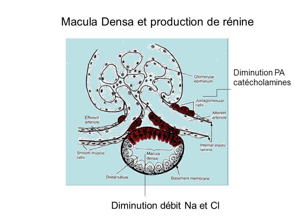 Diminution PA catécholamines Diminution débit Na et Cl Macula Densa et production de rénine
