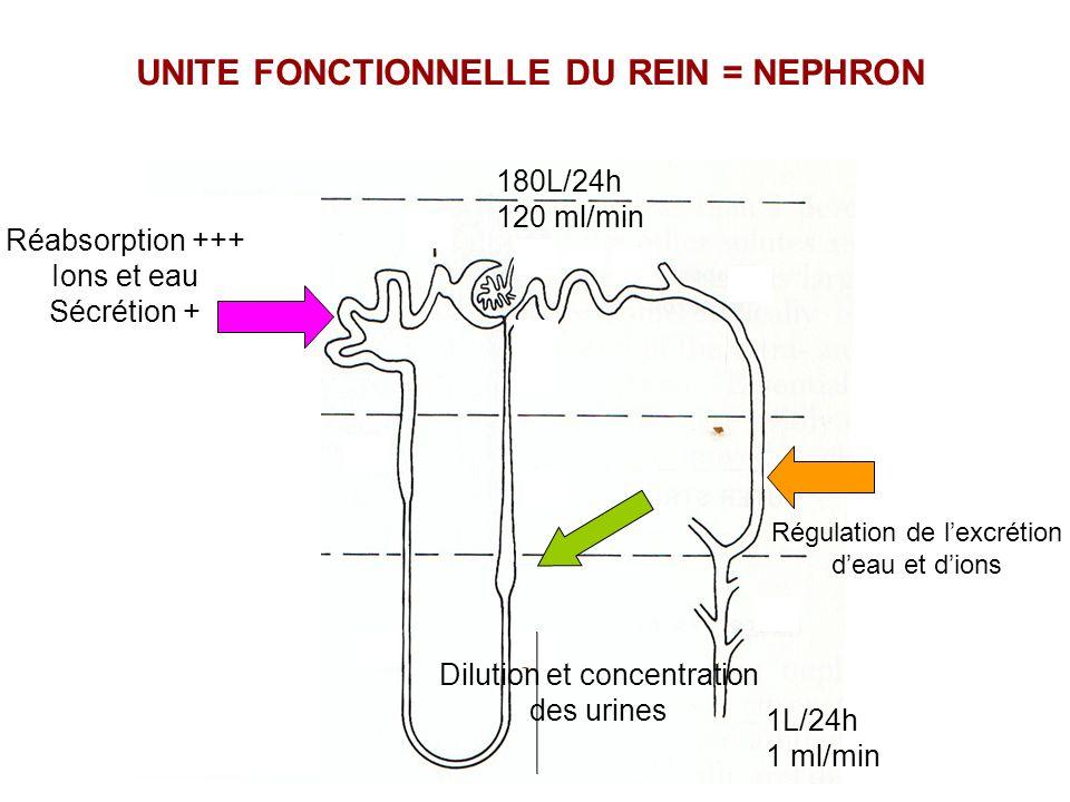 K+K+ Na + ATP Lumière tubulaire Interstitium Amiloride (10 -6 M) REABSORPTION DE SODIUM DANS LE CANAL COLLECTEUR Na + ENaC: Epithelial Na Channel K+K+ Aldostérone