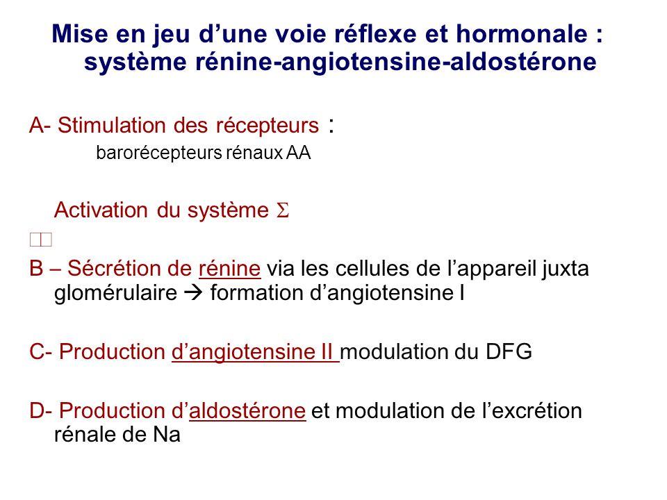 Mise en jeu dune voie réflexe et hormonale : système rénine-angiotensine-aldostérone A- Stimulation des récepteurs : barorécepteurs rénaux AA Activation du système B – Sécrétion de rénine via les cellules de lappareil juxta glomérulaire formation dangiotensine I C- Production dangiotensine II modulation du DFG D- Production daldostérone et modulation de lexcrétion rénale de Na