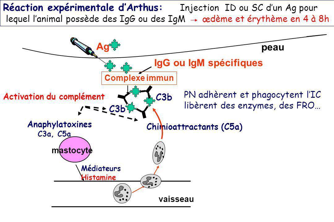 Réaction expérimentale dArthus: Injection ID ou SC dun Ag pour lequel lanimal possède des IgG ou des IgM œdème et érythème en 4 à 8h vaisseau Ag Activ