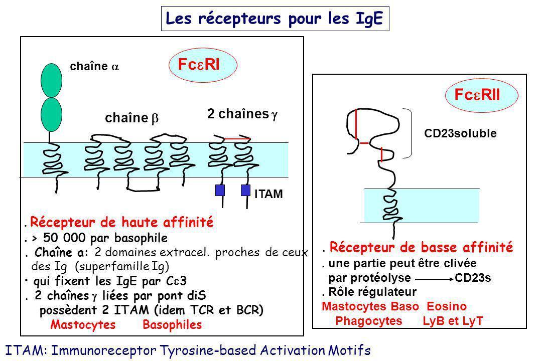 Les récepteurs pour les IgE chaîne 2 chaînes Fc RI ITAM. Récepteur de haute affinité. > 50 000 par basophile. Chaîne a: 2 domaines extracel. proches d