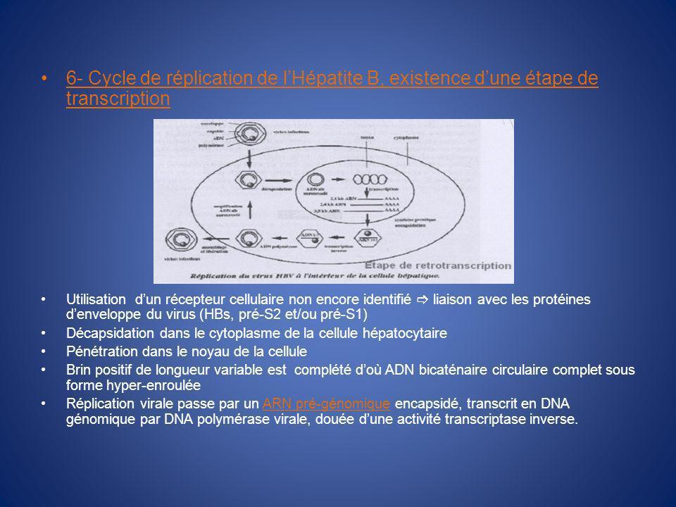 6- Cycle de réplication de lHépatite B, existence dune étape de transcription Utilisation dun récepteur cellulaire non encore identifié liaison avec les protéines denveloppe du virus (HBs, pré-S2 et/ou pré-S1) Décapsidation dans le cytoplasme de la cellule hépatocytaire Pénétration dans le noyau de la cellule Brin positif de longueur variable est complété doù ADN bicaténaire circulaire complet sous forme hyper-enroulée Réplication virale passe par un ARN pré-génomique encapsidé, transcrit en DNA génomique par DNA polymérase virale, douée dune activité transcriptase inverse.