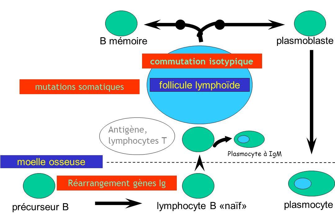 mutations somatiques Antigène, lymphocytes T plasmocyte précurseur B lymphocyte B «naïf» follicule lymphoïde moelle osseuse B mémoire plasmoblaste com